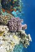 Colorful Coral Reef At The Bottom Of Tropical Sea, Violet Cauliflower Coral And Anthias Fishes, Unde poster