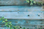 Blue A Wooden Background With Ivy Foliage - Painted Old Wood Facade With  Green Ivy  - Vintage House poster