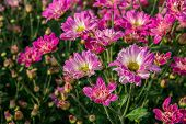 Pink Flower. Flower In Garden At Sunny Summer Or Spring Day. Flower For Postcard Beauty Decoration A poster