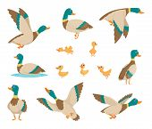 Wild Birds. Funny Ducks Flying And Swimming In Water Brown Wings Vector Birds Cartoon Style. Duck Bi poster
