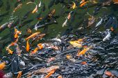 Group Of Black And Multicolored Carp Fish In The Pond poster