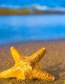 pic of starlet  - Sea Starlet Fallen Star - JPG