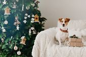Indoor Shot Of Pedigree Dog With Collar On Neck, Poses On Comfortable Sofa Near Wrapped Holidays Pre poster