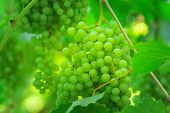 Green Ripe Grapes In The Vineyard. Ripe Clusters Of White Grapes On The Vine. Selective Focus On The poster