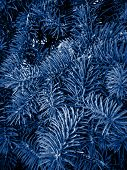 Fir Branches Classic Blue Spruce. Close Up. Branches Of Classic Blue Spruce. Winter Monochrome Natur poster
