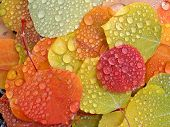 stock photo of raindrops  - Close up of colorful aspen leaves with raindrops - JPG