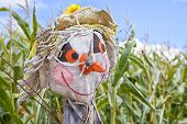 stock photo of scarecrow  - A farm scarecrow guarding a field of corn - JPG