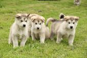 picture of malamute  - Group of Alaskan Malamute puppies standing on green grass - JPG