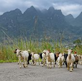 flock of goat in the mountains at summer,landscape in Yangshuo Guilin, China