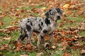 foto of catahoula  - Louisiana Catahoula puppy standing and looking in Autumn - JPG