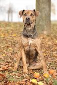 pic of catahoula  - Nice brown Louisiana Catahoula dog sitting in Autumn - JPG