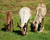 picture of caribou  - Three caribou eat grass at the Large Animal Research Station in Fairbanks - JPG