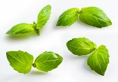 stock photo of basil leaves  - Fresh basil - JPG
