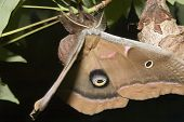 pic of cocoon tree  - polyphemus moth  - JPG