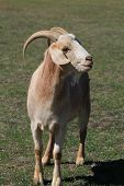 image of billy goat  - Goat grazing in farmland in Northern NSW - JPG
