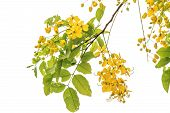 stock photo of vishu  - Golden shower blossom on a white background - JPG