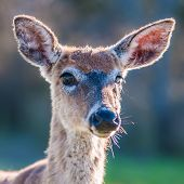 picture of bambi  - white tail deer bambi in the wild - JPG
