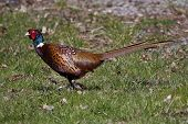 pic of stroll  - a male pheasant strolling along on the lawn - JPG