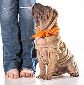 stock photo of shar pei  - dog training  - JPG