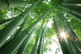 image of bamboo  - Bamboo forest in the morning - JPG