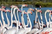 picture of greater  - Fock of greater flamingos - JPG