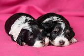 picture of spotted dog  - Two cute little havanese puppies dog are lying on a soft pink bedspread one looking at camera - JPG