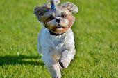 picture of dog breed shih-tzu  - The Shih Tzu is a small - JPG