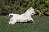image of west highland white terrier  - Cute West Highland White Terrier puppy running in the grass - JPG