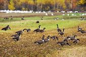 image of snow goose  - Canadian and Snow geese feeding in agricultural field during autumn migration - JPG