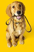 picture of golden retriever puppy  - Photo studio Golden Retriever dog sitting on a leash on a yellow background - JPG