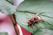 pic of hornets  - Large and beautifully colored Hornet at the rest - JPG