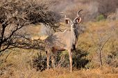 image of greater  - Greater Kudu bull in the Mokala National Park of South Africa - JPG