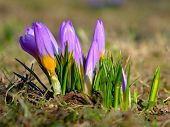 picture of germination  - Germinating crocuses in the spring sunshine on Jasne Blonia in Stettin in Poland - JPG