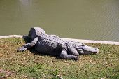 picture of crocodile  - Crocodiles  - JPG