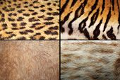 picture of ocelot  - wild felines fur collection real pelt textures of tiger lion ocelot and leopard - JPG