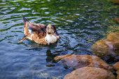 picture of duck pond  - Female mallard duck swimming in a pond in Morocco - JPG