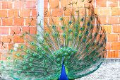 image of indian blue  - A front view of an indian blue peacock spreading his wings in front of a brick wall of a house - JPG