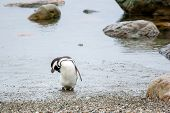 stock photo of flipper  - A front view of a magellanic penguin standing on the sea shore and touching his head with flipper in Punta Arenas Chile - JPG