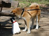 picture of french bulldog puppy  - Puppies of Akita Inu and French bulldog in public park - JPG