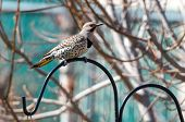 foto of pecker  - A northern flicker perches upon a metal rod - JPG