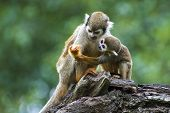 pic of baby-monkey  - Squirrel monkey with its cute little baby in Zoo - JPG