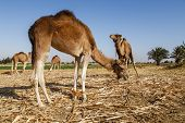 image of camel  - Camels eating with green field in the background Four camels eating with a green field in the background - JPG