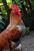 pic of black-cock  - Colorful Rooster - JPG