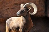 Постер, плакат: Bighorn ram keeping watchful eye