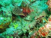 pic of lion-fish  - Lion fish took underwater off Manado in Indonesia - JPG