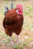stock photo of black-cock  - Colorful Rooster - JPG