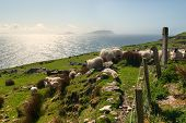pic of sheep  - Sheep flock on green hills in Dingle County Kerry Ireland - JPG