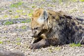 stock photo of hyenas  - Young spotted hyena  - JPG