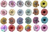foto of zinnias  - Original and colored zinnia blossoms on a white background - JPG