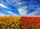 image of buttercup  -  Blooming red and yellow buttercups in spring in Israel - JPG